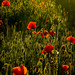 Poppies one night 2